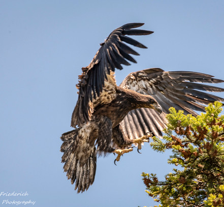 One of the youngsters flies from the nest to the neighbouring tree to the south.