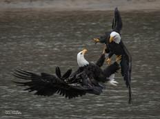Sparring Eagles
