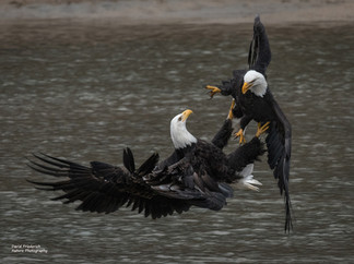 Sparring Eagles
