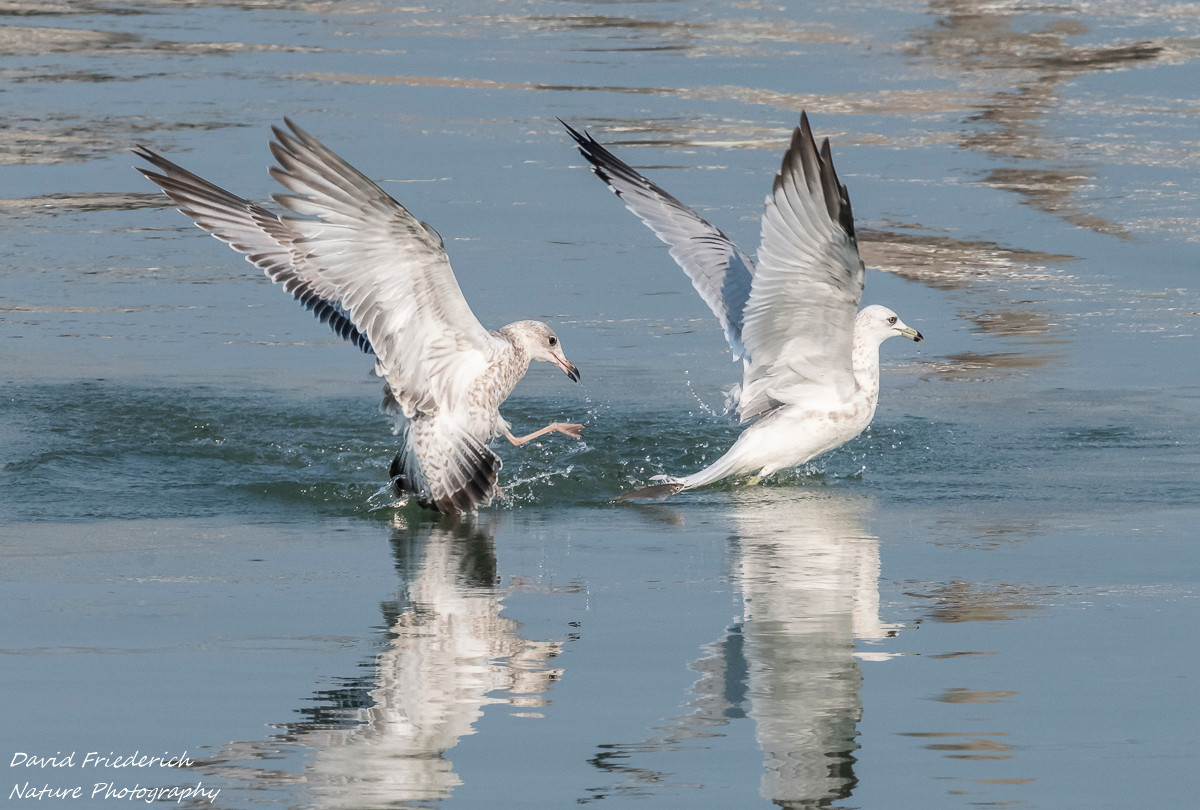 Look closely at this one.  There is a smelt jumping out of the water between the two birds.