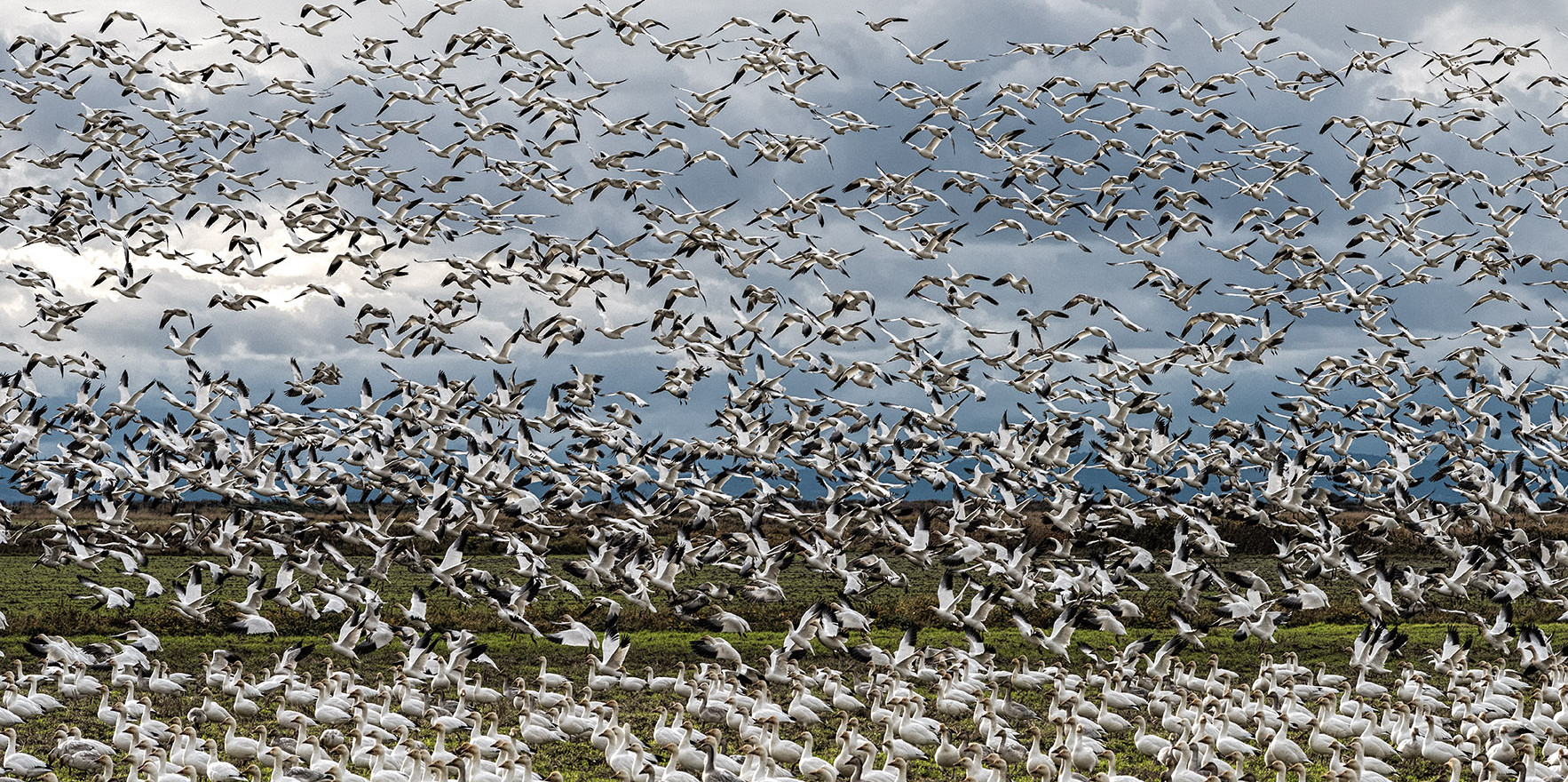 Flocks of snow geese can be huge like this one captured just across the Westham Island Bridge