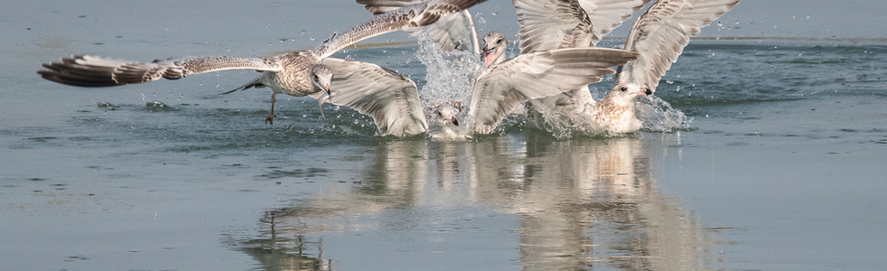 A wonderful scene, as a the bird on the left finds the fish in the frenzy, and the others protest loudly that they don't have the fish.