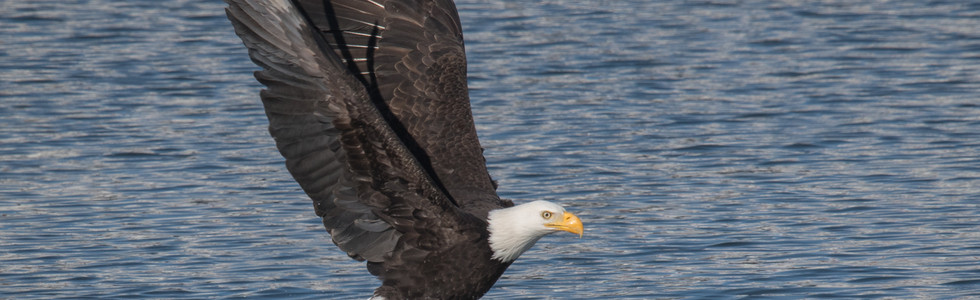 The next three shots are a sequence.  In the first one, while on our top deck again, I saw this eagle dive into the river near the bridge for a fish.