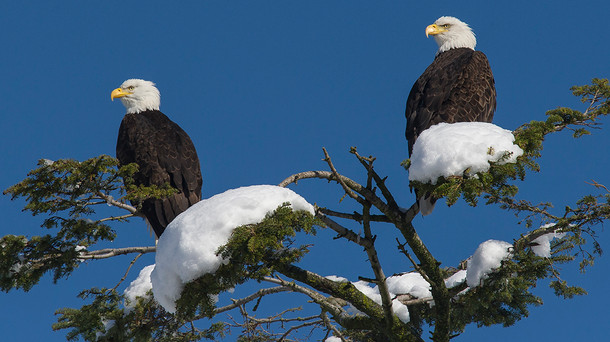 During the winter, with snow on their tree, and a deep blue sky, I found our eagles sitting together on the top branches above the nest.