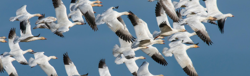 A flock of snow geese captured against a deep blue sky