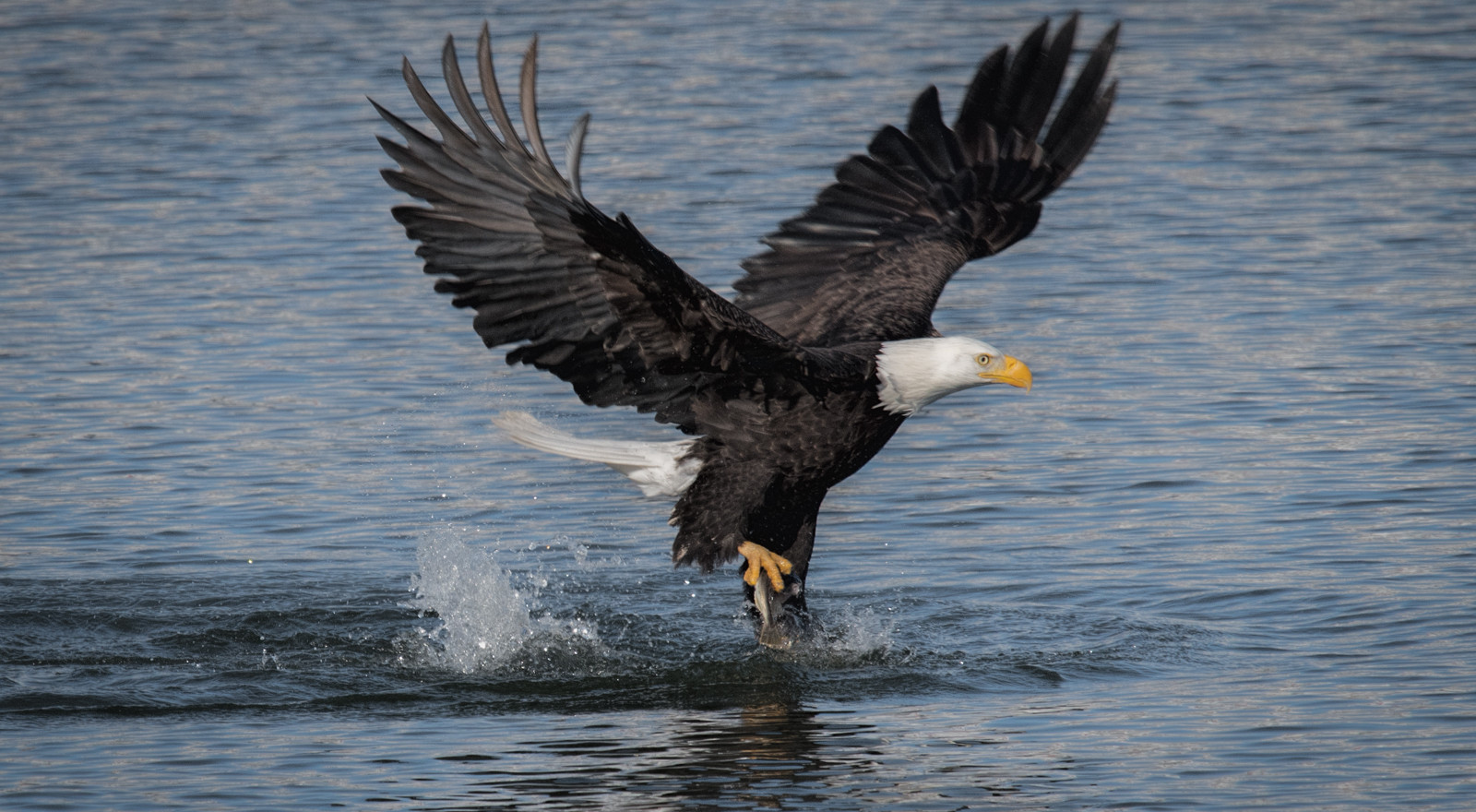 A matter of seconds from the first shot in the sequence, you can see the eagle has caught a small fish.