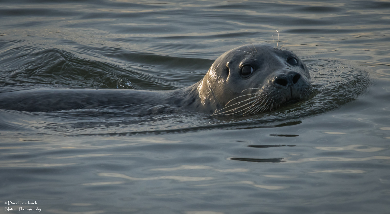 Nice light in this winter shot of a harbour seal from our top deck.
