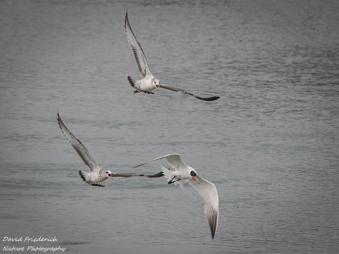 The last shot in the set is one of my faves, because is shows a common tern with a smelt chased by the ring billed gulls.  Terns dive into the water like kingfishers (notice the large bill).  The gulls don't much like this intruder and tell him so very loudly.