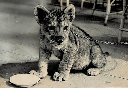 lion cub Singh.jpg