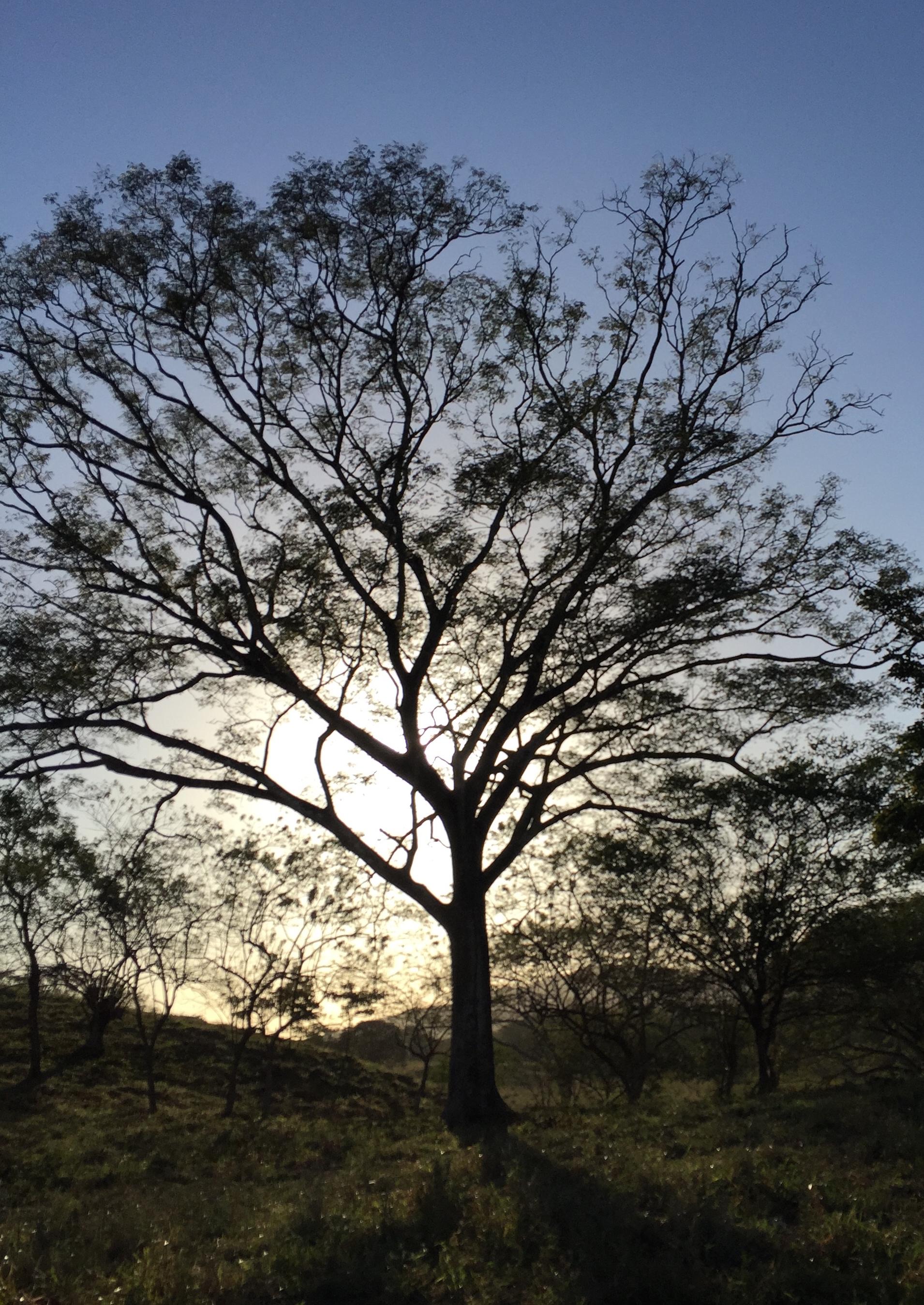 Majestic tree, Costa Rica