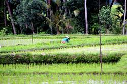 rice fields in Ubud on Bali