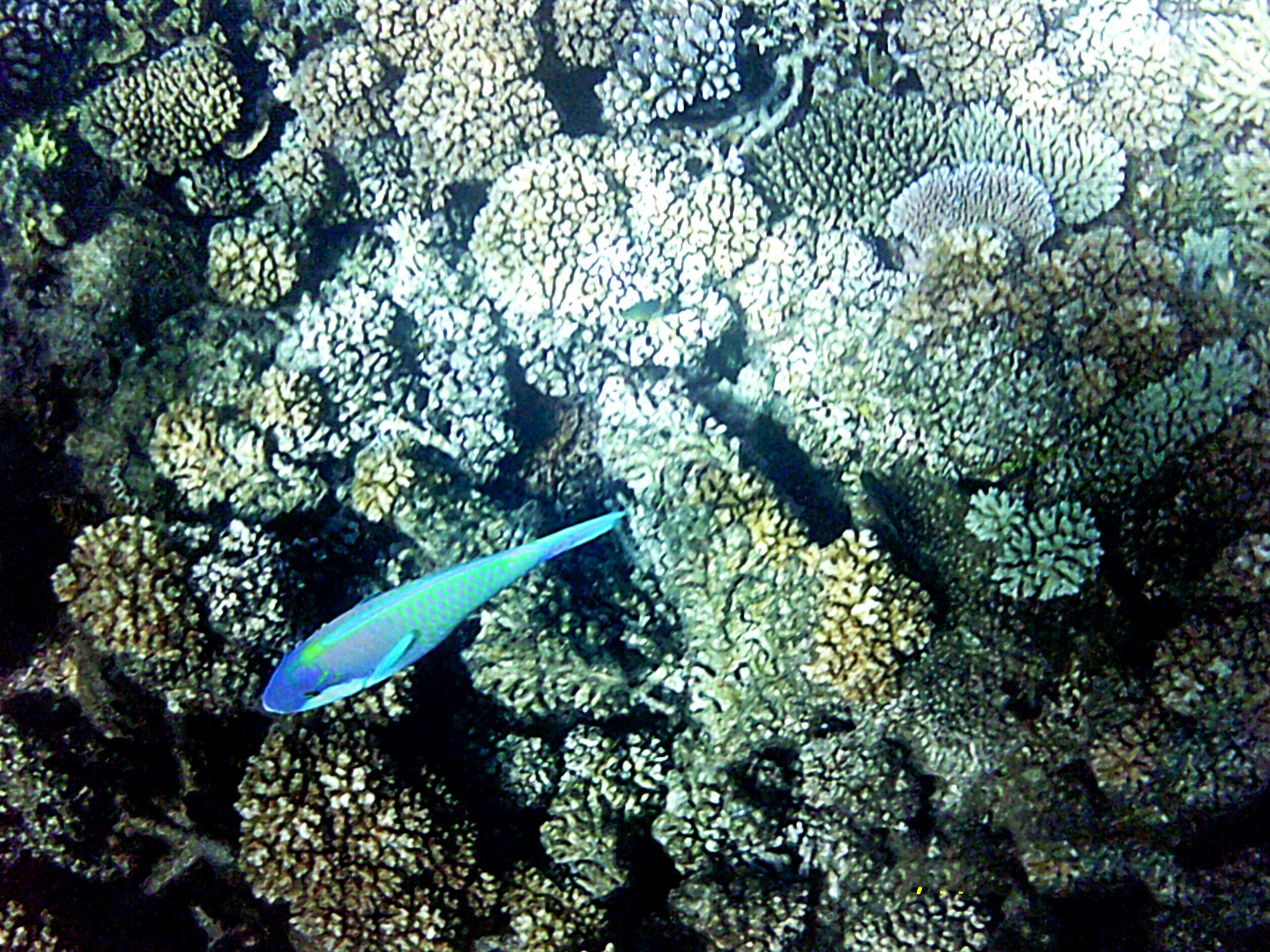 Papagei Fisch