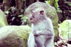 little monkey on bali monkey forest
