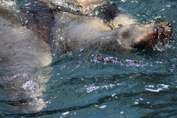 Seals in Port Campbell
