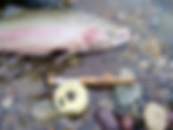 Large Shouldered Queets River Steelhead