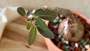 Phyllanthus Mirabilis Beginner's Care Guide