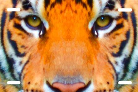 LP00586-Tiger