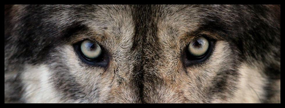 wolf eyes close up .jpg