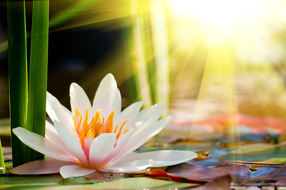 lotus flower background.jpg