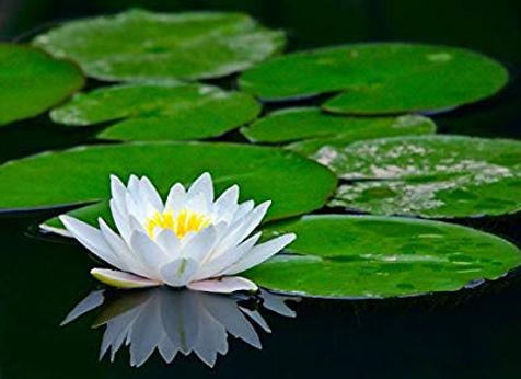 green lotus 2.jpg