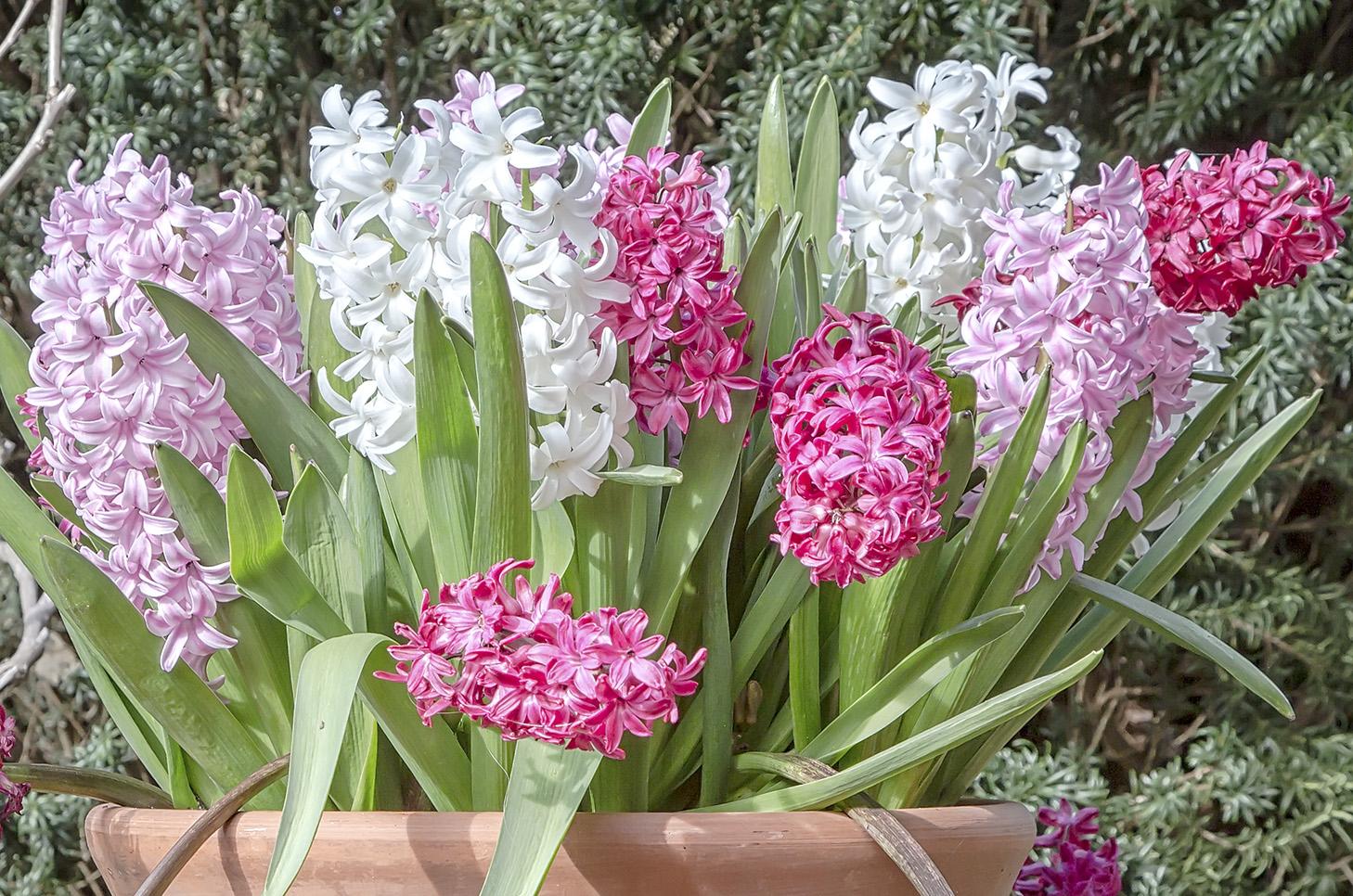 Hyacinths_1