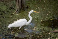 Egret_Florida Everglades_USA