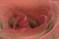 Dusty_Rose