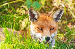 Male Fox at Eccleston Park Golf Course