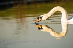 Male Mute Swan at Eccleston Park Golf Club