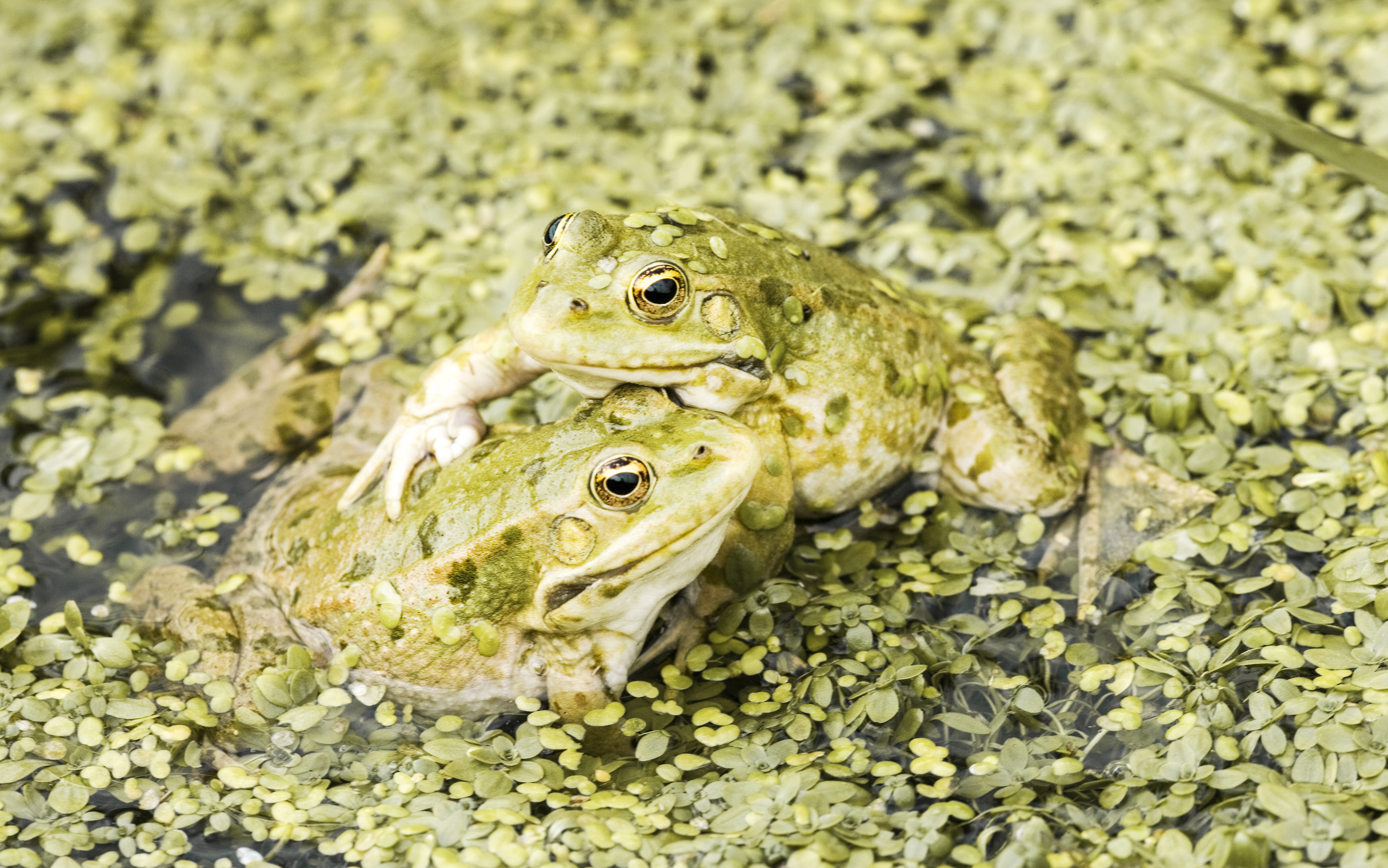 Toads at Eccleston Park Golf Club
