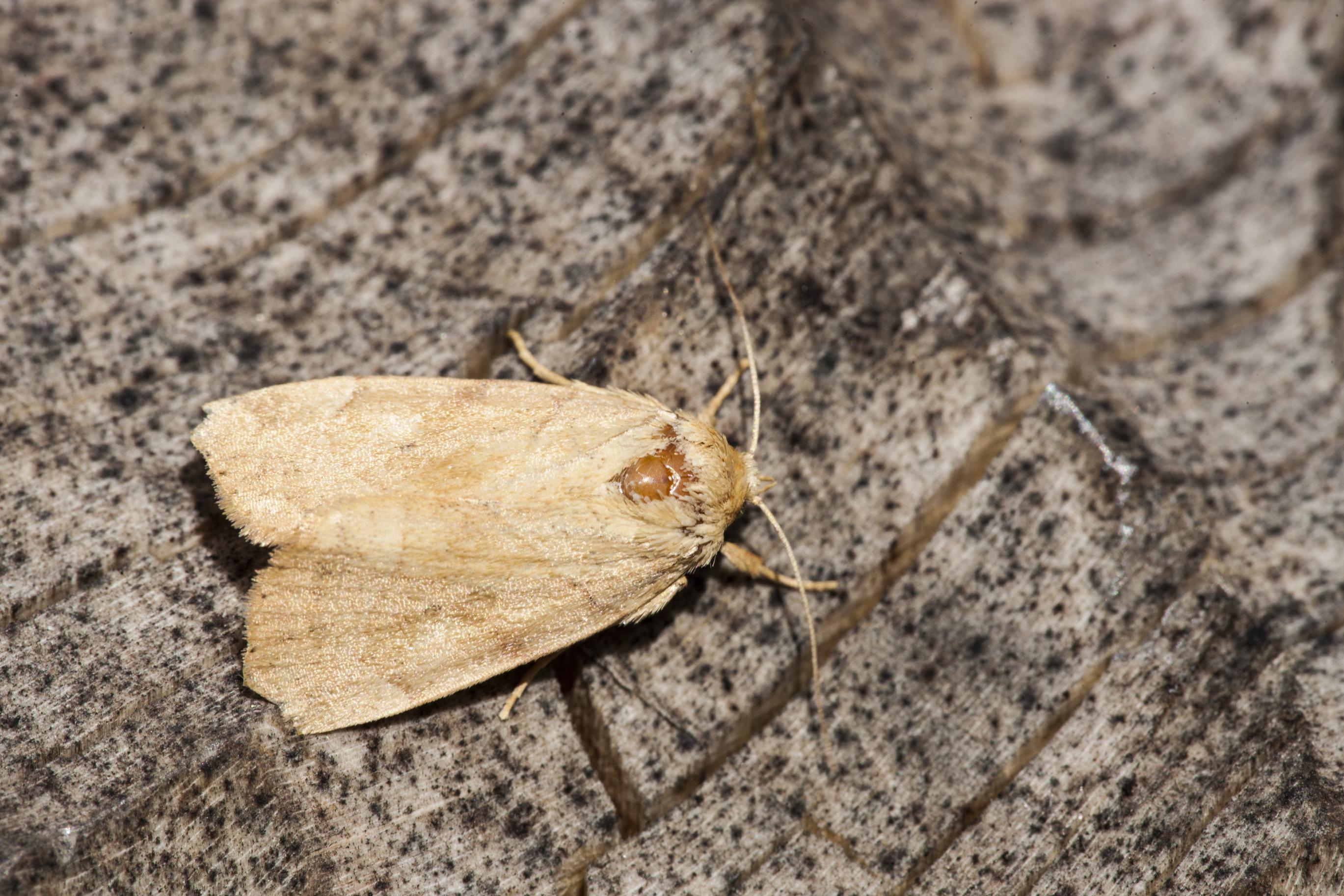 Moth at Mill Lane