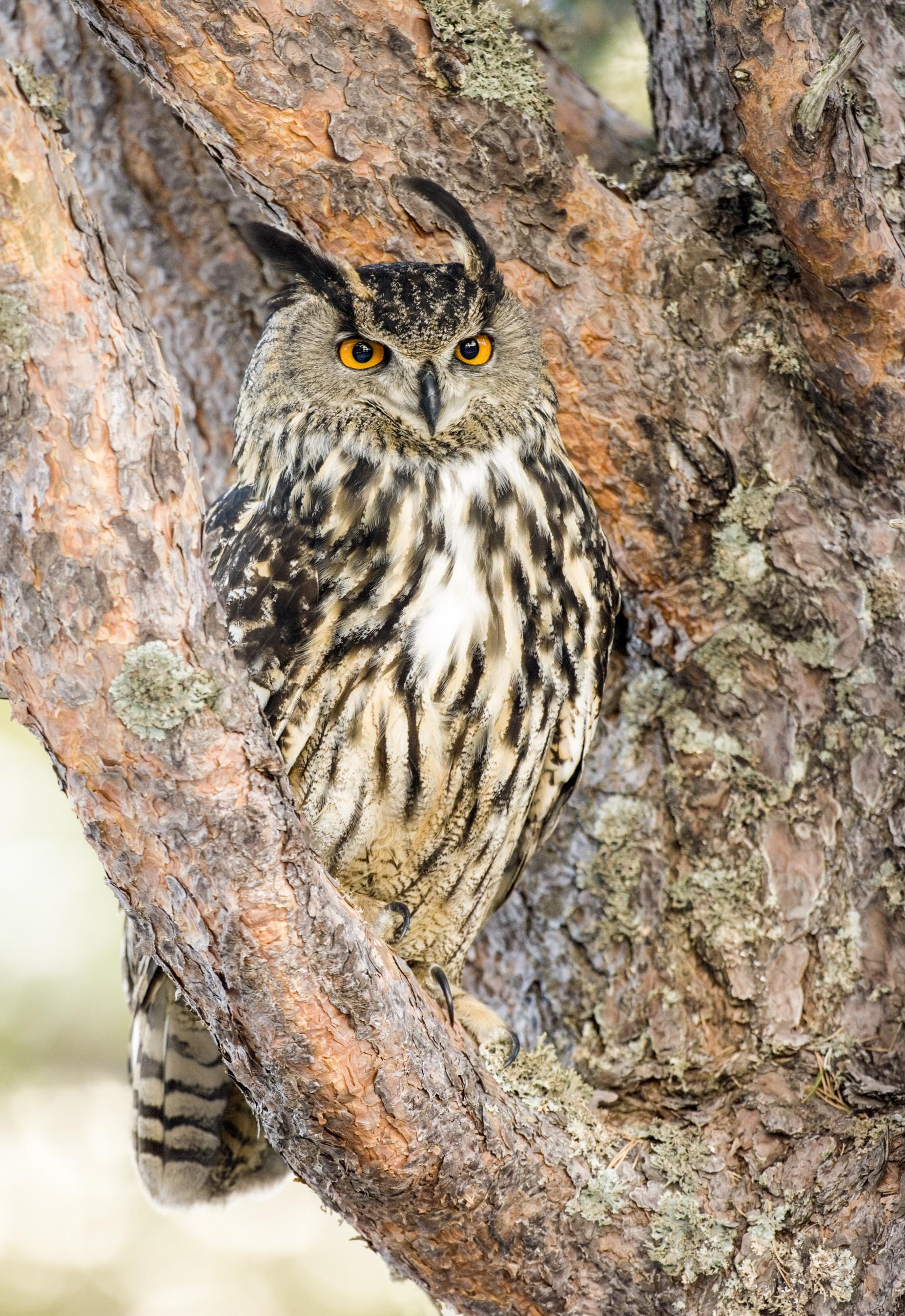 Long Eared Owl at Eccleston Park Golf Club