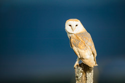 Barn Owl at Mill Lane