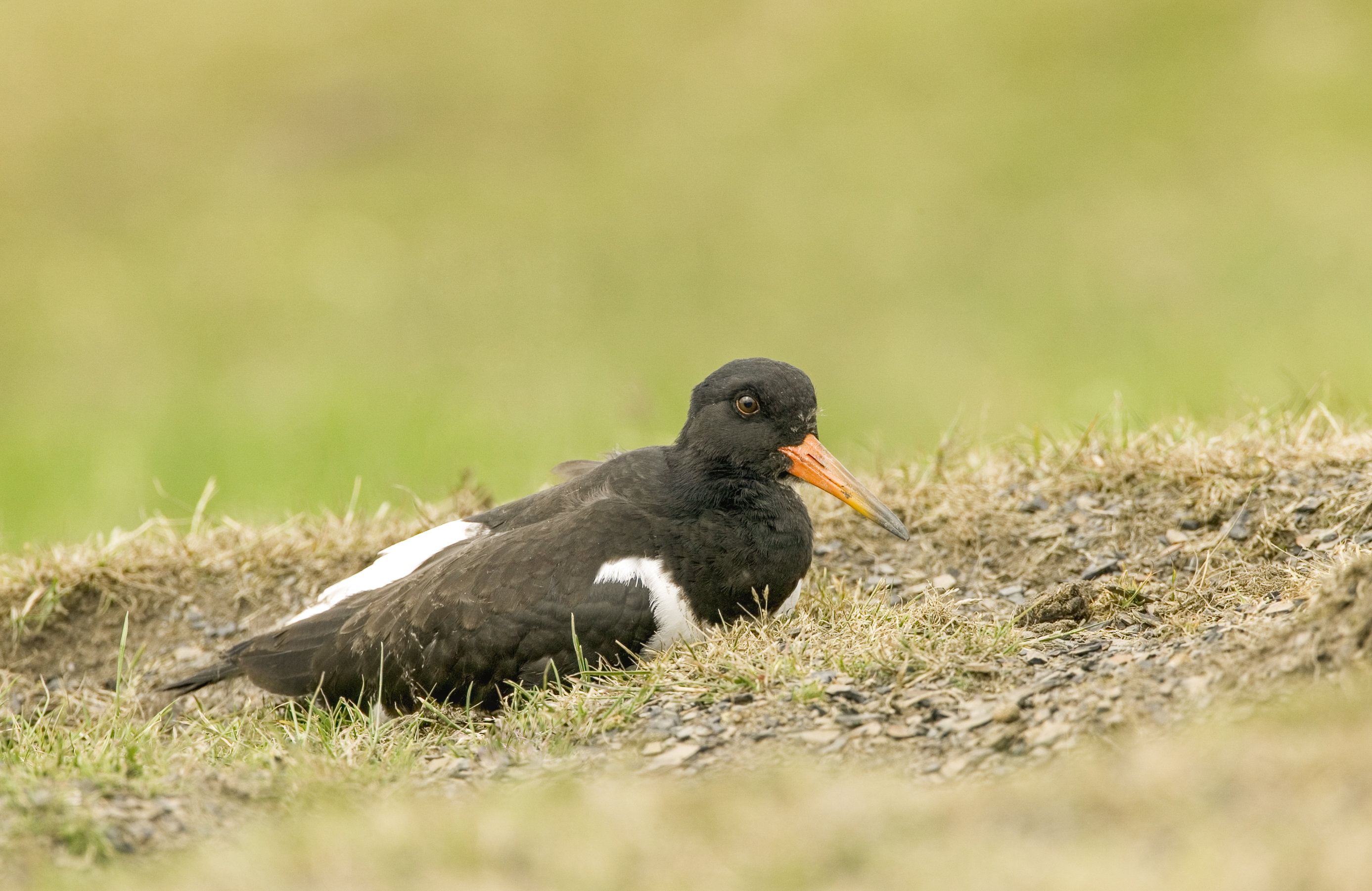 Oystercatcher On Nest In Mill Lane