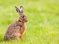 Hare in Field at Mill Lane