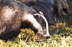 Badger at Mill Lane