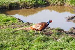 Pheasant Drinking At Mill Lane