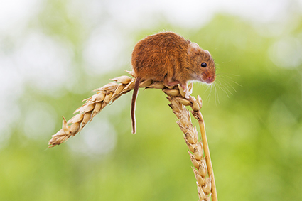 Field Mouse at Mill Lane