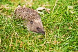 Hedgehog at Eccleston Park Golf Club