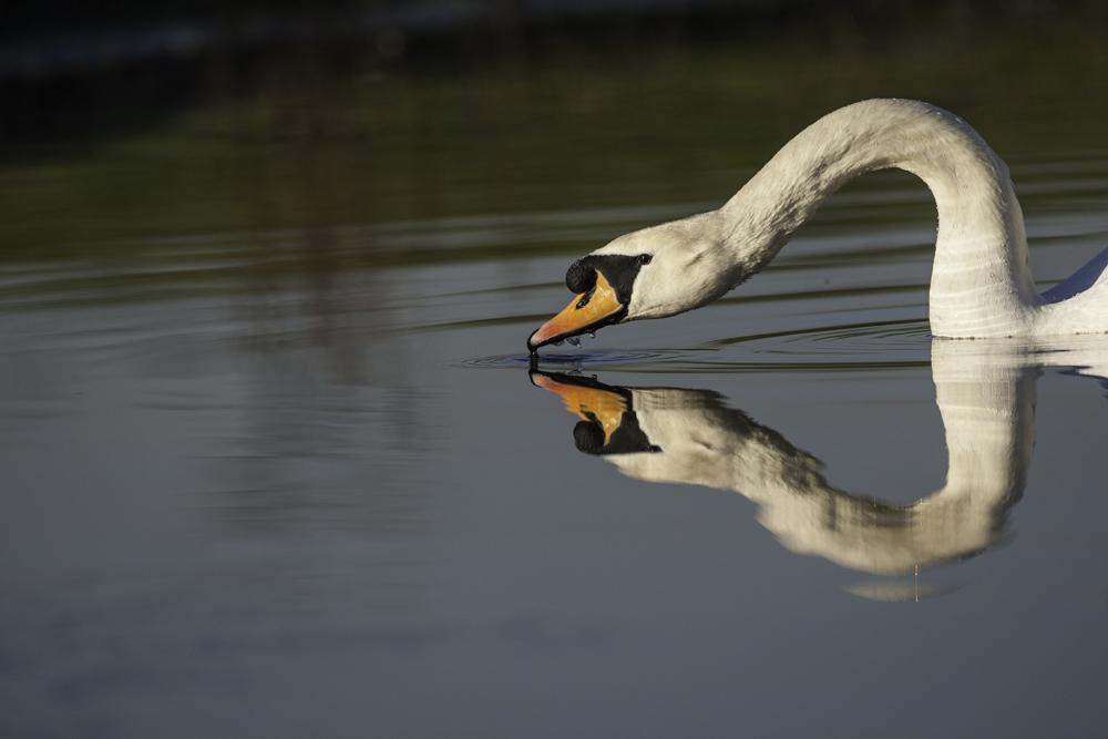 Mute Swan Reflection