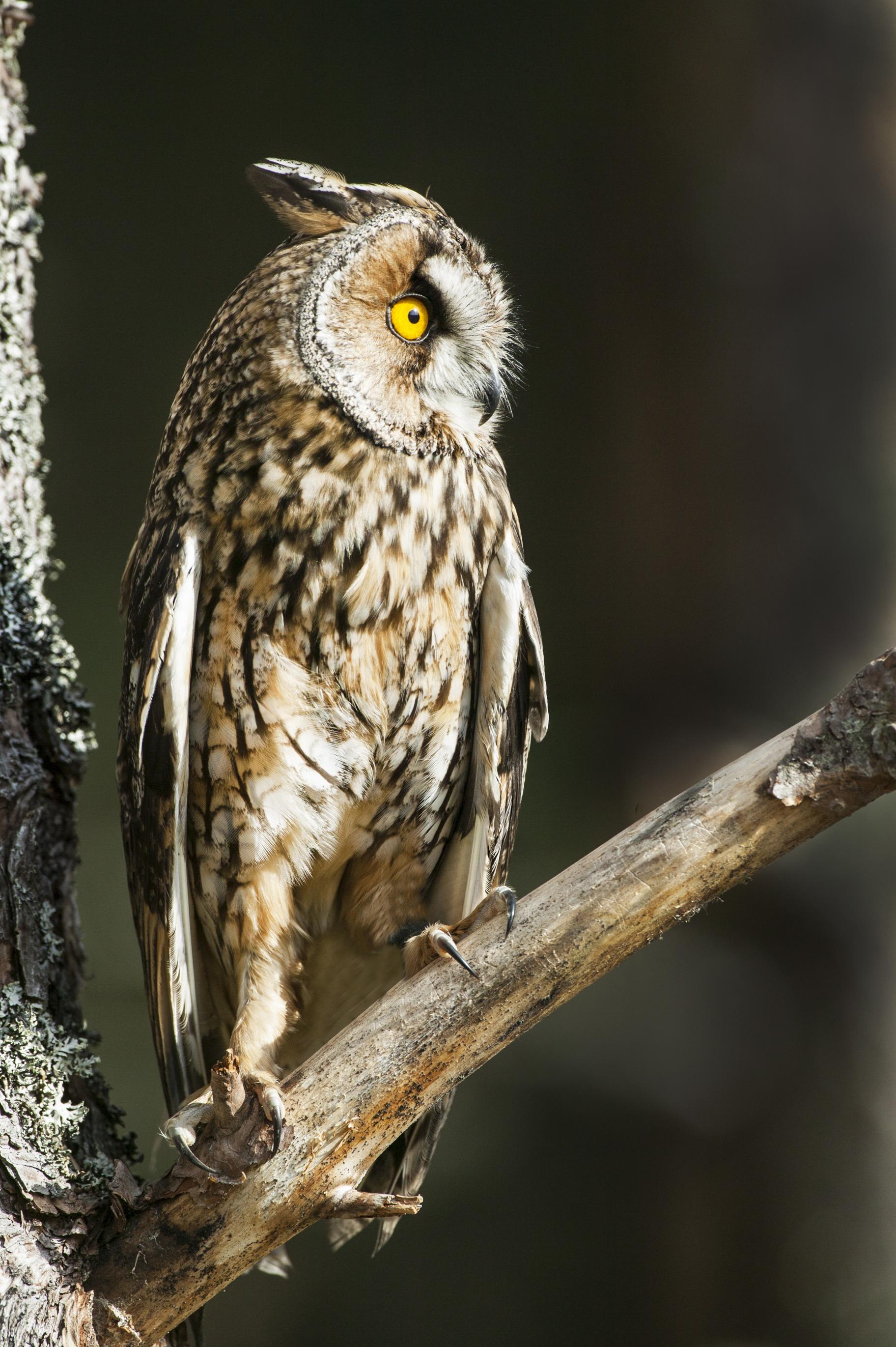 Long-eared Owl at Mill Lane