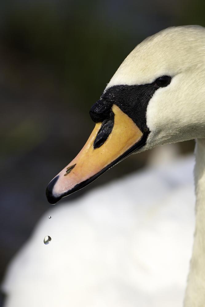 Mute Swan & Water Droplet