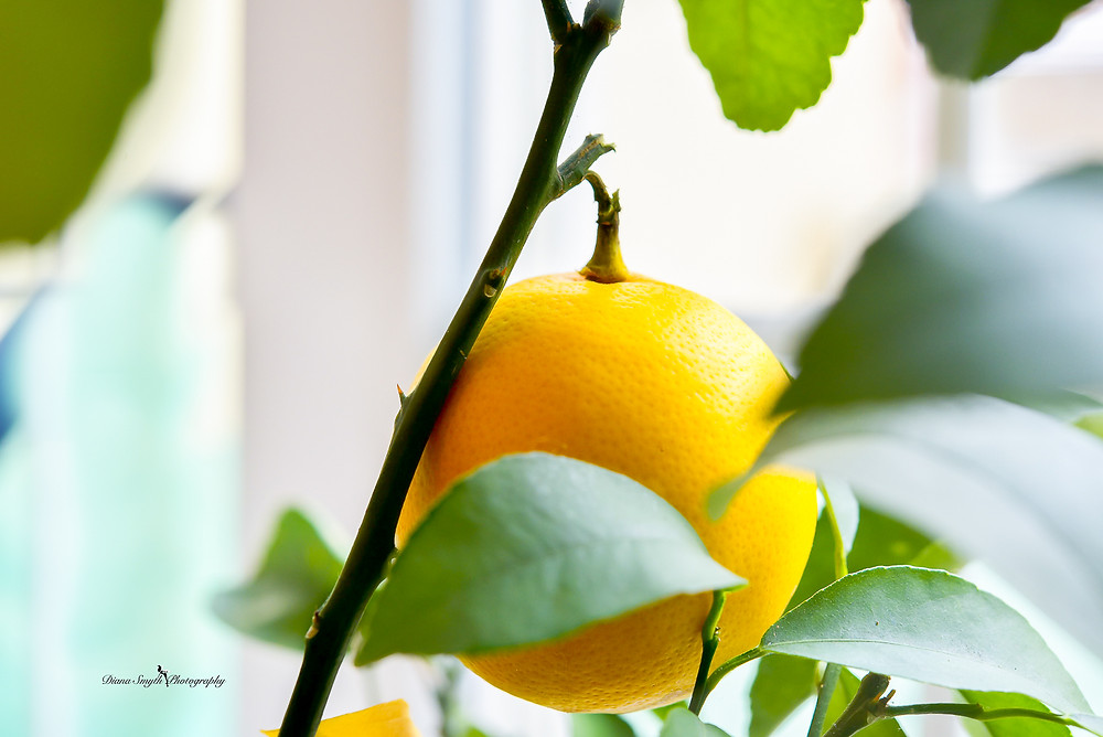 In the middle of a harsh and cold winter this little plant brings me a glow of the summer. Fresh lemons year round. This little lemon is ready for the picking.
