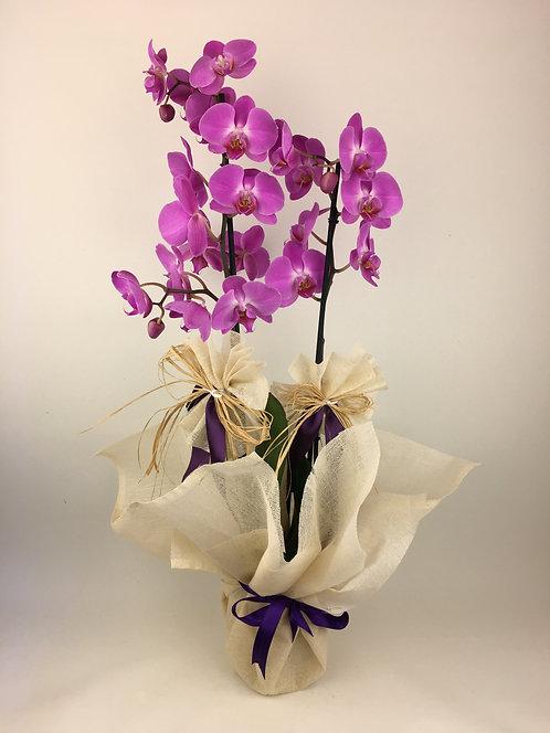 Hasır Paketli 2 Dallı Orkide