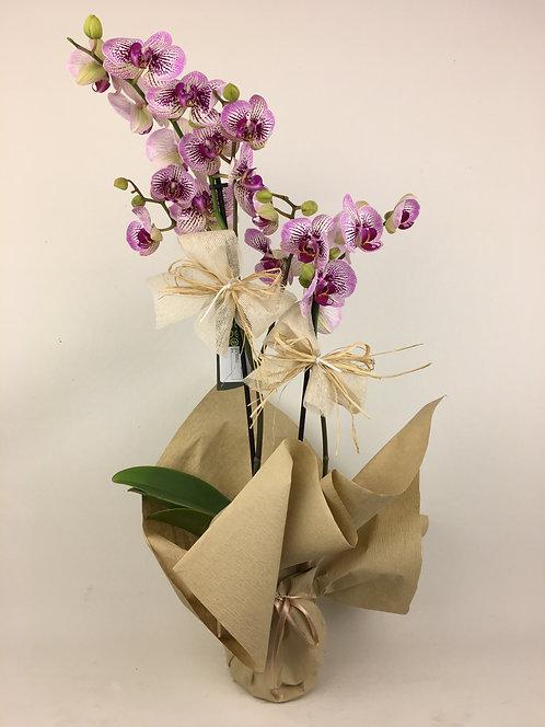 Doğal Çift Dal Orkide