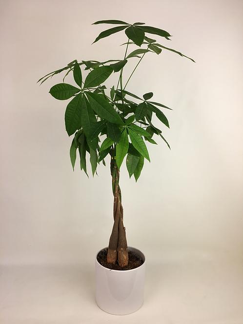 Pachira Aquatica-Örgülü Para Çiçeği