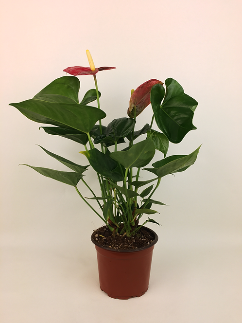 Antoryum - Anthurium Çiçeği