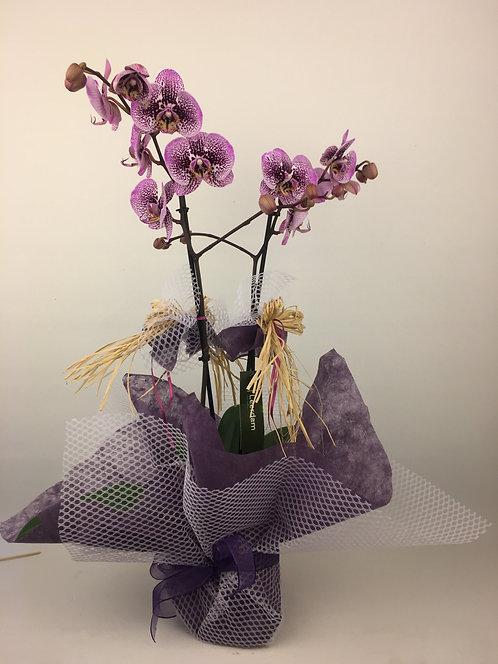 Elyaf Paketli 2 Dallı Orkide