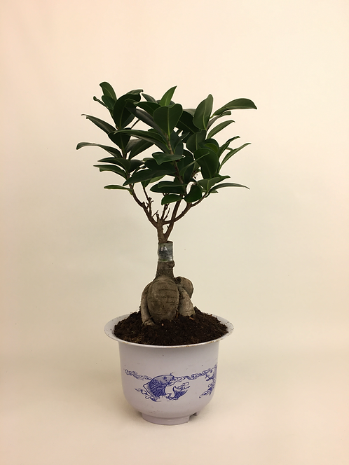 Bonsai Çiçeği - Ficus Microcarpa