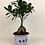 Thumbnail: Bonsai Çiçeği - Ficus Microcarpa